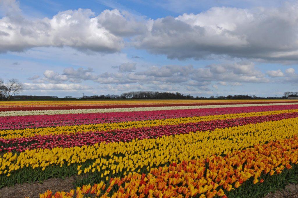 tulpenvelden in bloei
